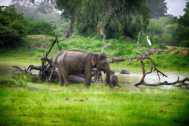 Słoń w dzikim obrazy stock