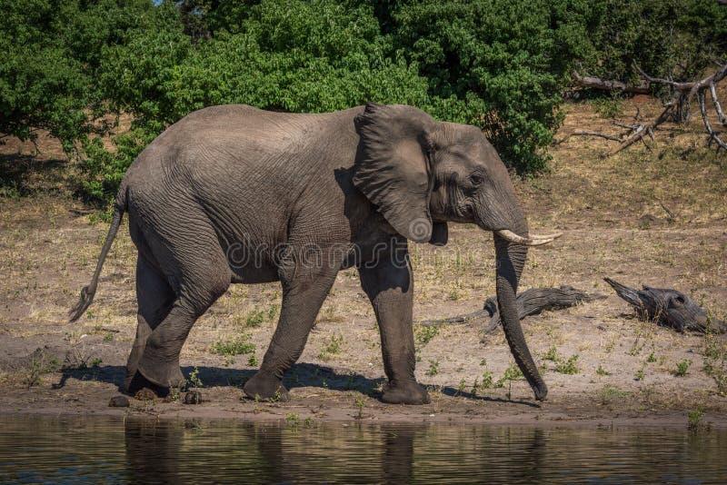 Słoń w profilowym odprowadzeniu wzdłuż pogodnego riverbank fotografia stock