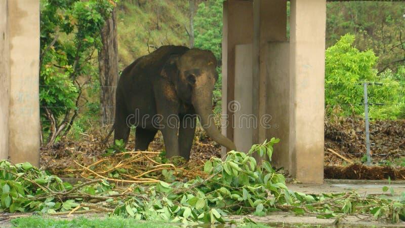 Słoń w rehabilitaci fotografia stock