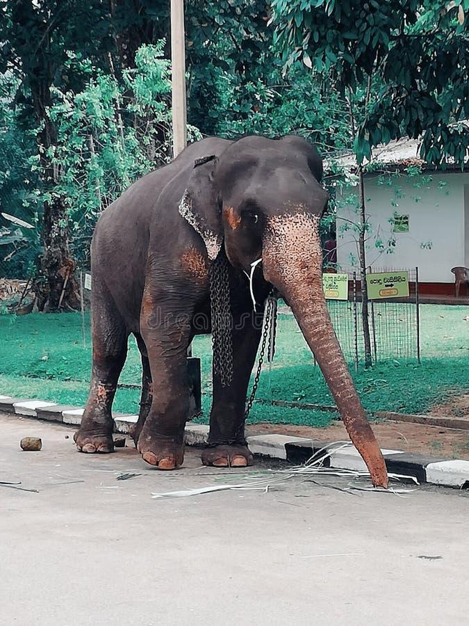 Słoń w Srilanka zdjęcia stock