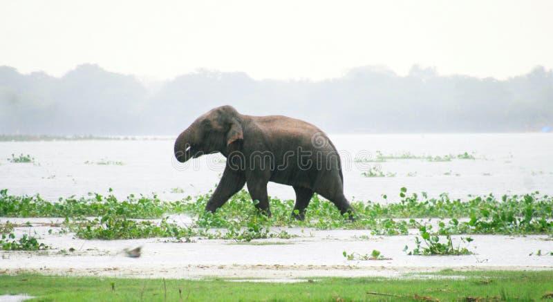 Słoń z deszczem obrazy royalty free