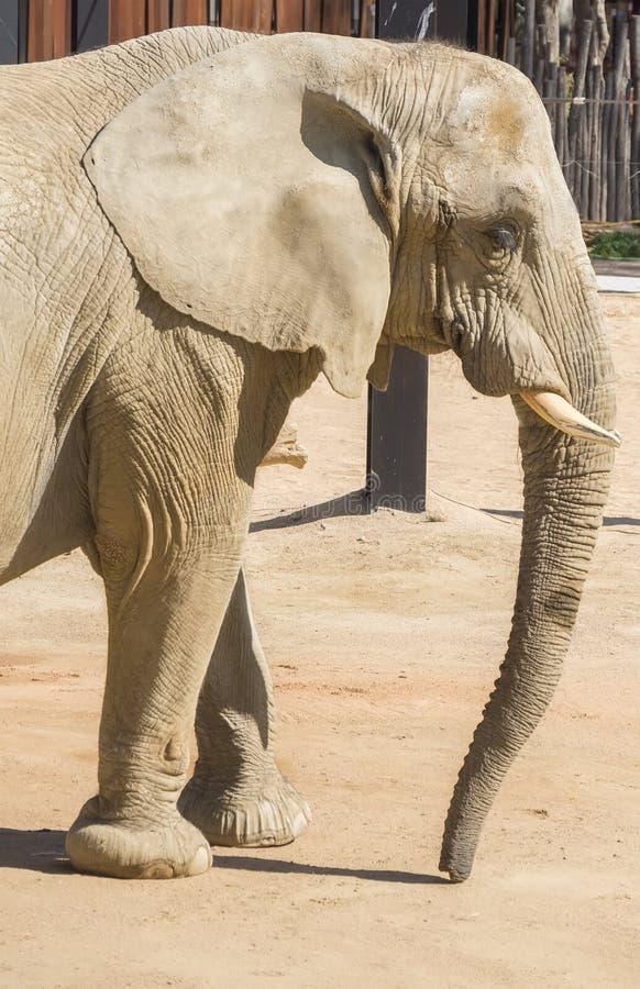 Słoń zostaje spokojny, Elephantidae obraz royalty free