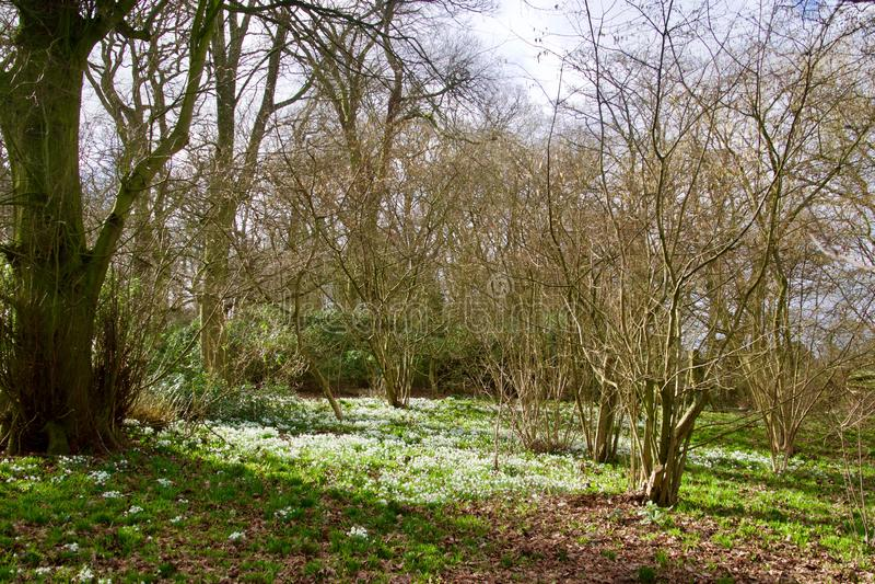 Słońc drzewa i śnieżyczki fotografia royalty free