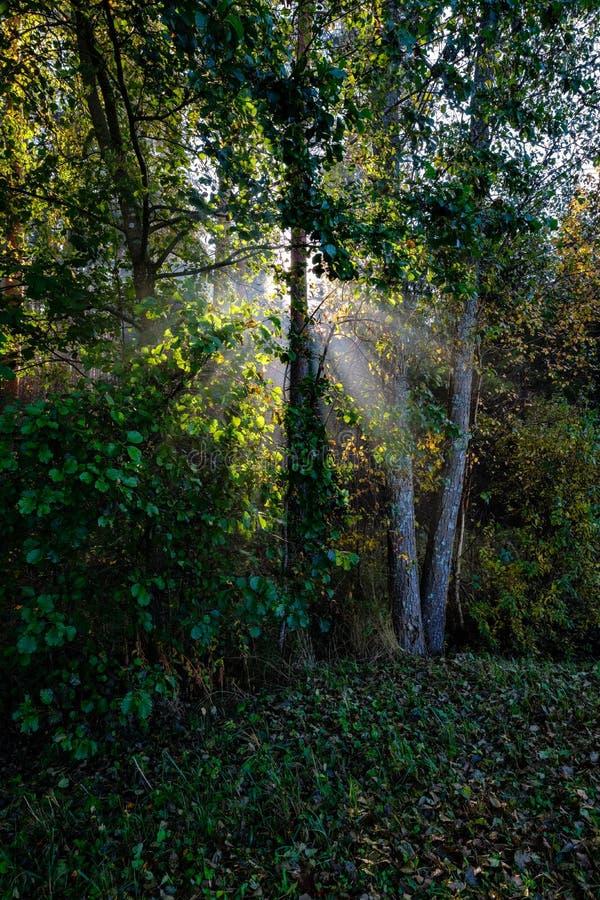słońc reys przez jesień barwiących drzewo liści zdjęcie royalty free