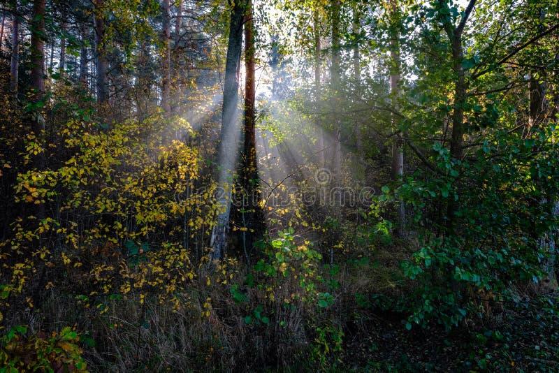 słońc reys przez jesień barwiących drzewo liści obrazy royalty free