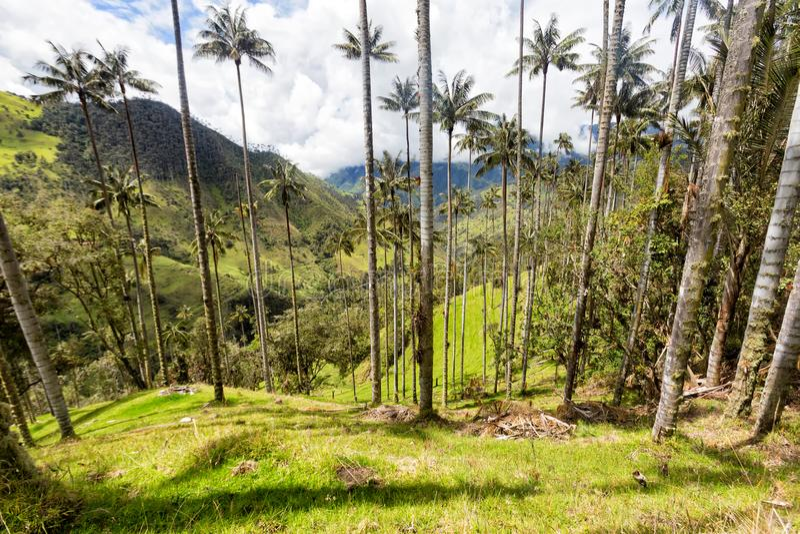 Słońca i wosku palmy obrazy stock