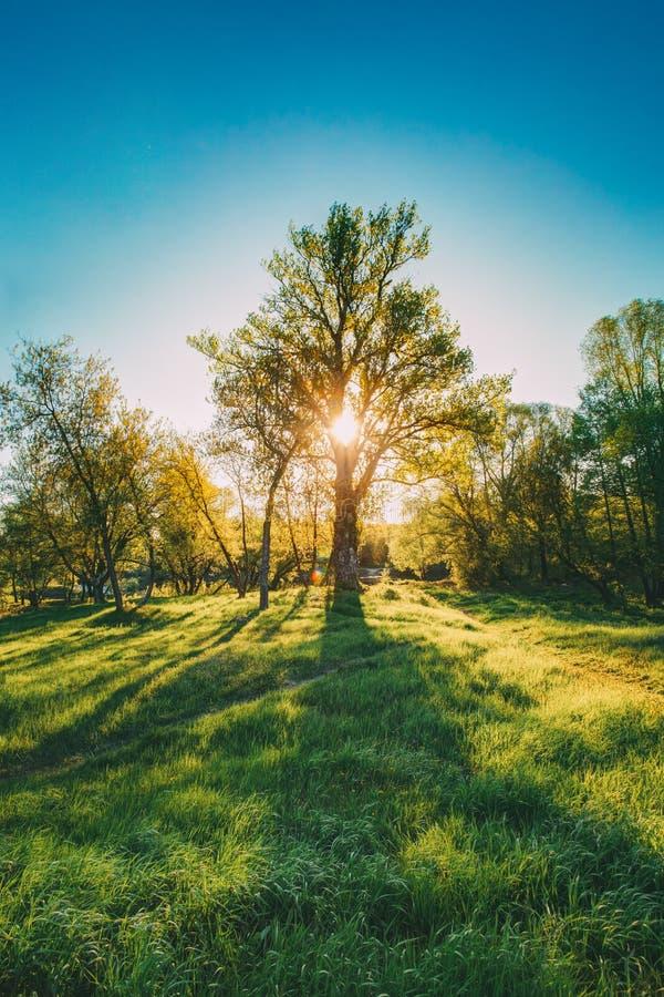 Słońca jaśnienie Przez bagażnika I ulistnienia Dębowy drzewo Przy wiosna sezonem obrazy royalty free
