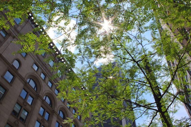 Słońca jaśnienie przez delikatnego baldachimu lokalizować w W centrum Montreal drzewo, Kanada, towarzyszący z niedalekimi budynka obraz royalty free