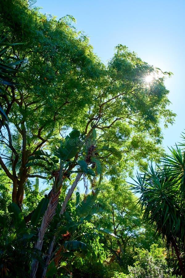 Słońca olśniewający drzewo z jasnym niebieskim niebem w tle, obrazy royalty free