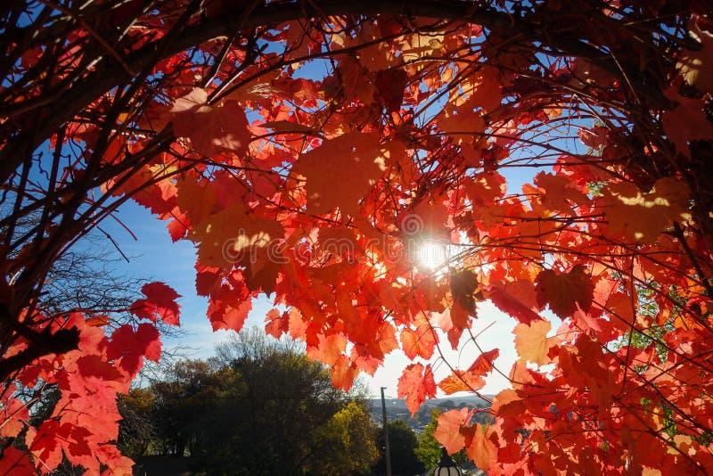 Słońca zerkanie przez jesień winogradu czerwonych liści Daylesford, VIC Australia zdjęcia royalty free