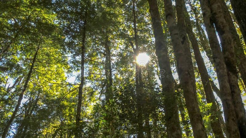 Słońce błyszczy przez baldachimu temperate tropikalnego lasu deszczowego bukowi drzewa obraz royalty free