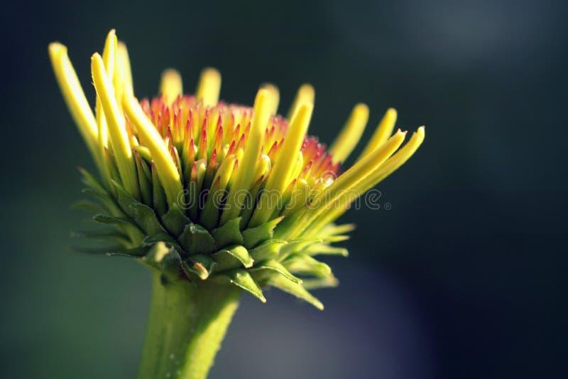 Słońce cześć Echinacea kwiat Heliantheae Makro- fotografia royalty free