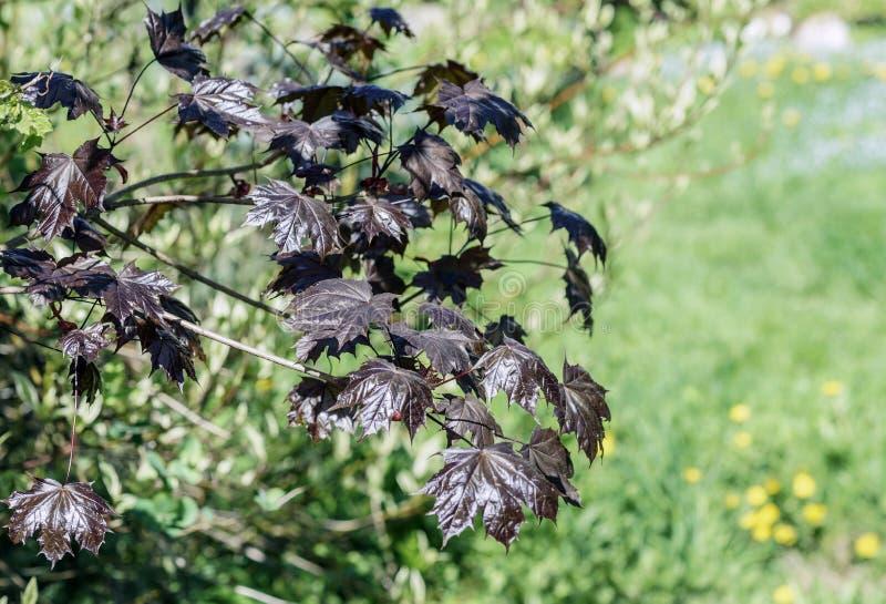 Słońce czerwonego klonu zielona gałąź z młodymi liśćmi na tle zamazany ogród w wiośnie, dywan kwitnienie zapomina zdjęcie stock