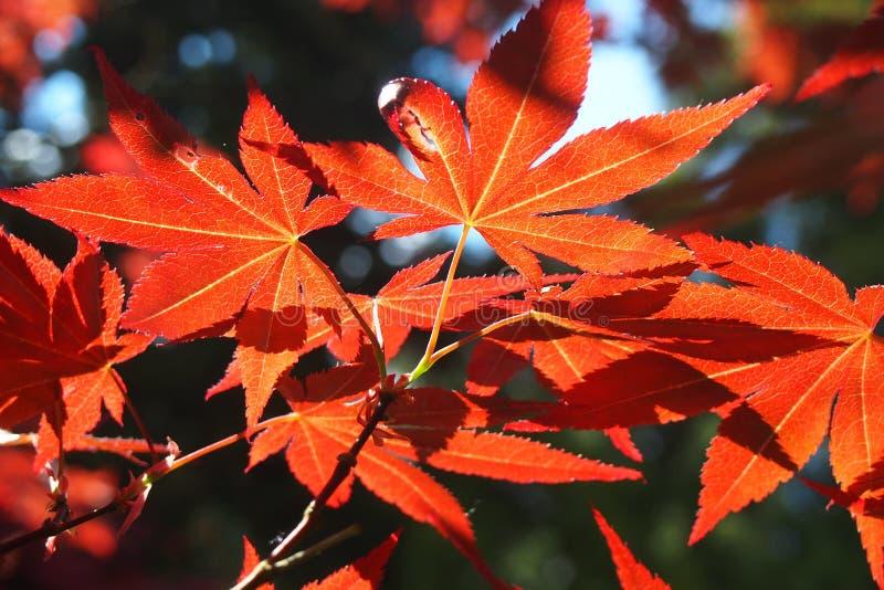 Słońce dyszli shinnigh synklina liście kultywujący acer drzewo fotografia stock