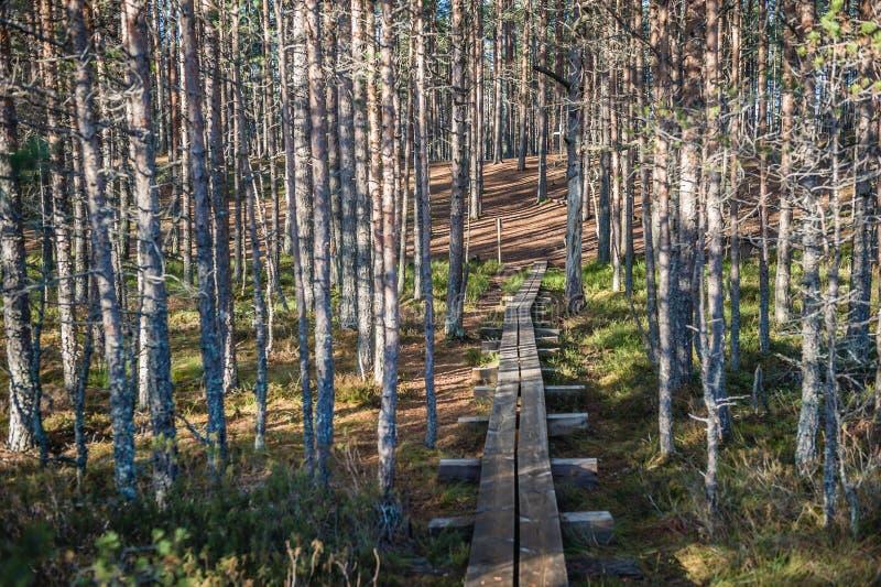 Słońce i cienie rysuje linie w wiosen sosnowych lasowych długich liniach cienie i droga przemian zdjęcia stock