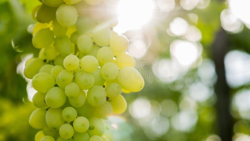 Słońce iluminuje wiązkę zieleni winogrona na winogradzie obrazy royalty free