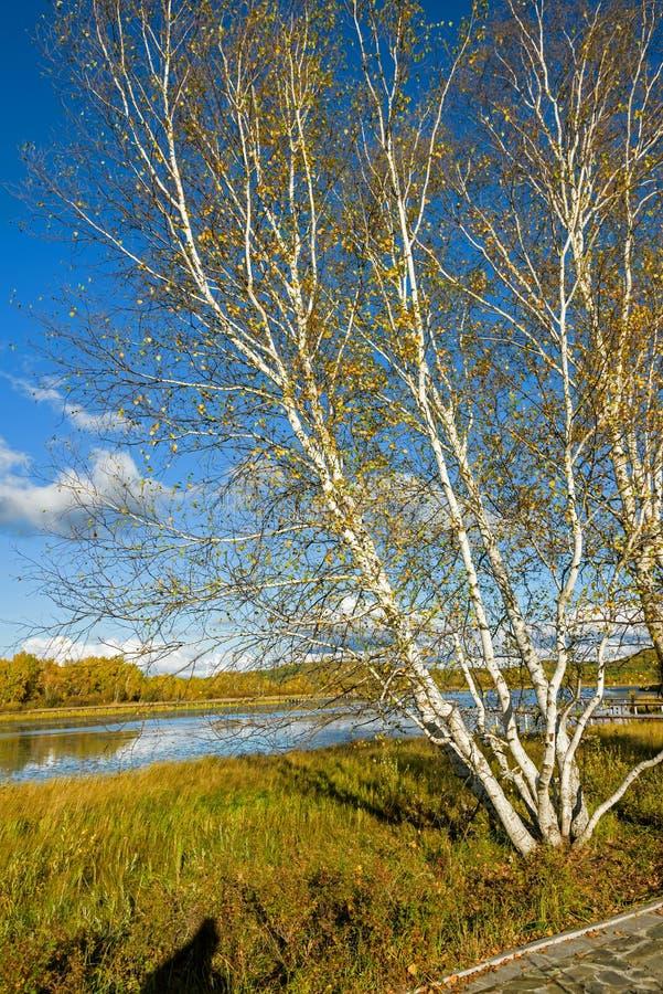 Słońce jezioro i Biała brzoza w jesieni obraz royalty free