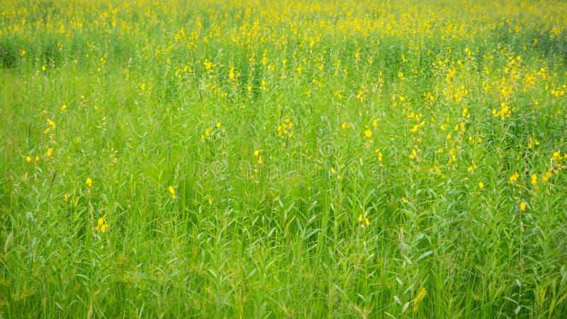 Słońce konopie kwiatu pole obrazy royalty free