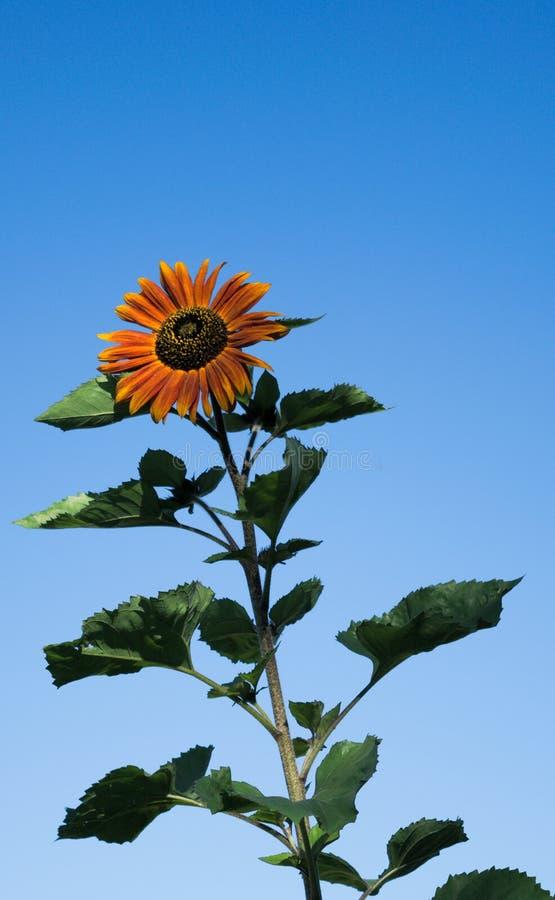 Słońce kwiat na jasnym niebieskie niebo dniu obrazy stock