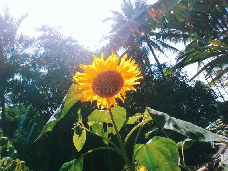 Słońce kwiat w niebie zdjęcia royalty free
