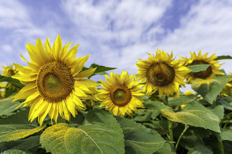 Słońce kwiatu 3d zakończenie up obraz stock