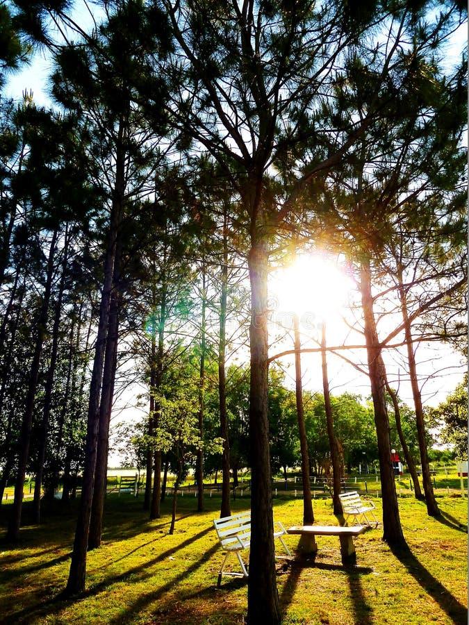 Download Słońce na górze sosen zdjęcie stock. Obraz złożonej z puszysty - 57665138