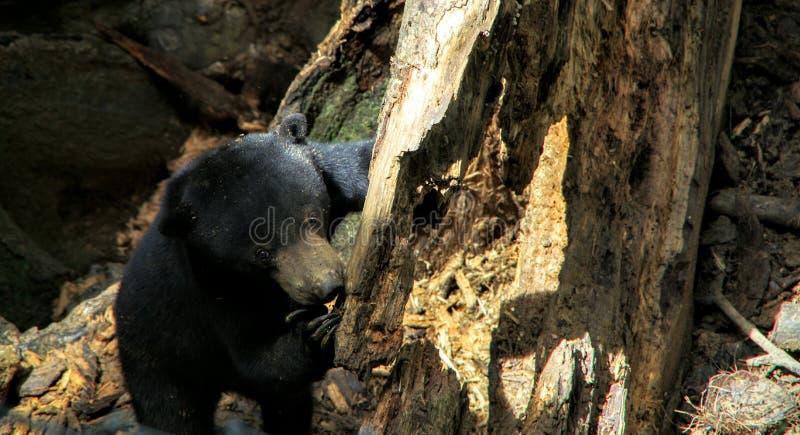 Słońce niedźwiadkowy Borneo obraz royalty free