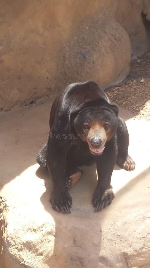 Słońce niedźwiedź obrazy royalty free