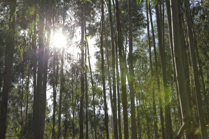 Słońce penetruje w drewnach obrazy royalty free