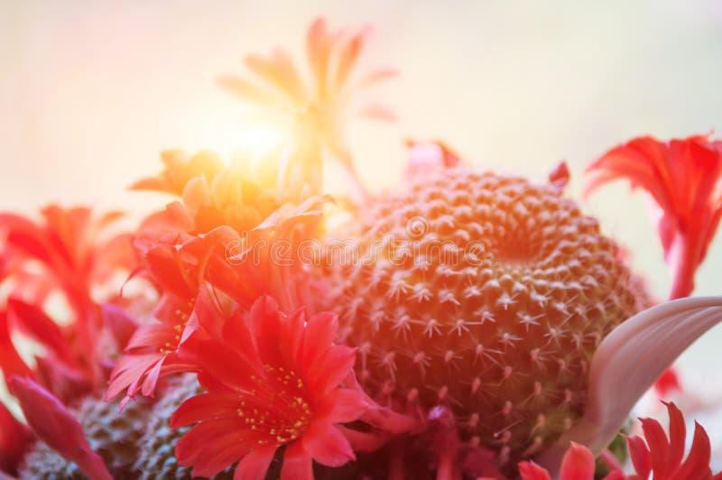 Słońce połysk przez kwitnącej czerwieni kwitną kaktusa zdjęcie stock