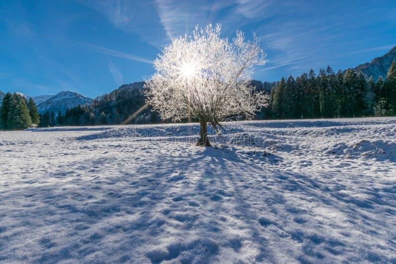 Słońce promienie łama przez białego drzewa obraz royalty free