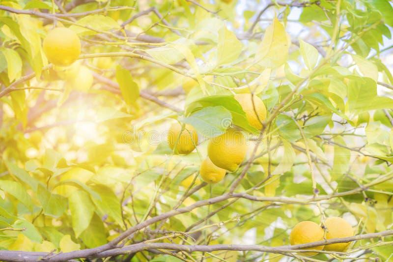 Słońce promienie błyszczą przez gałąź w ogródzie z dojrzałymi cytrynami i zielenieją liście zamazujący tło zdjęcie stock