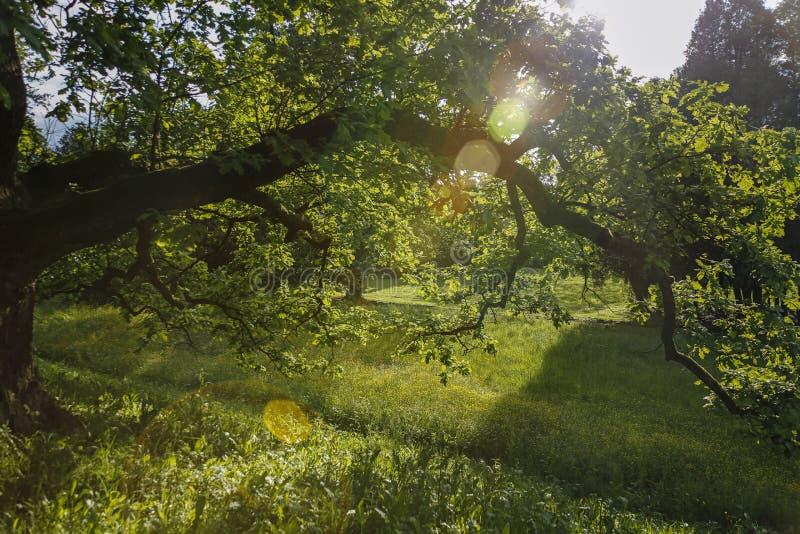 Słońce promienie przeciw staremu dębowemu drzewu zdjęcia stock