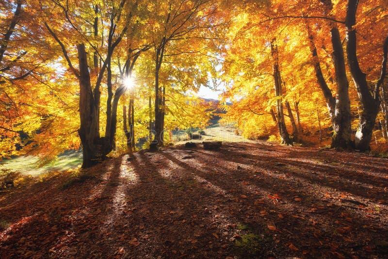 Słońce promienie przez jesieni drzew Naturalny jesień krajobraz w lasowym jesień lesie i słońce jako tło obraz royalty free