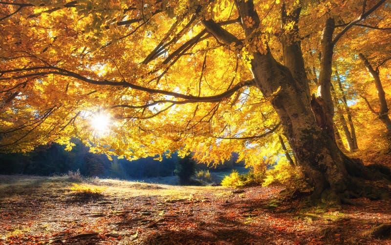 Słońce promienie przez jesieni drzew Naturalny jesień krajobraz w lasowym jesień lesie i słońce jako tło zdjęcia stock