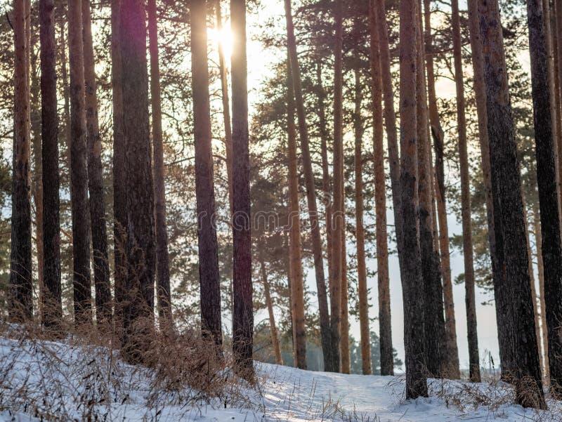 Słońce przez sosen w zima lesie zdjęcia royalty free