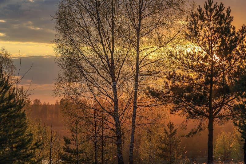 Słońce przy zmierzchem błyszczy przez gałąź sosny i brzozy zdjęcia stock
