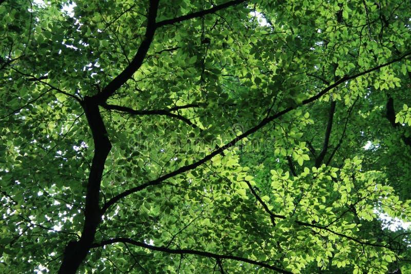 Słońce synkliny buku olśniewający liście obrazy stock
