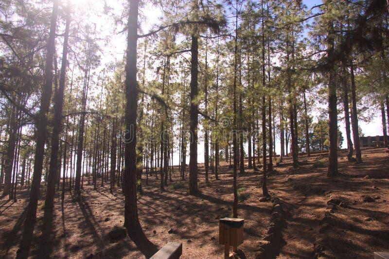 Słońce wchodzić do przez lasowych drzew obraz stock