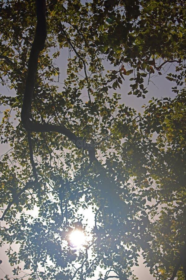SŁOŃCE WIDZIEĆ PRZEZ ulistnienia drzewo obrazy stock