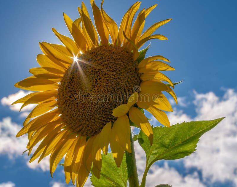 Słońce wybuch przez słonecznikowego płatka na perfect późne lato dniu obrazy royalty free
