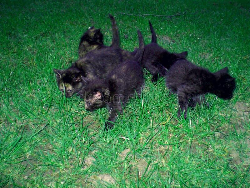 Słodcy mali koty i zielona trawa urocze czerni figlarki fotografia stock