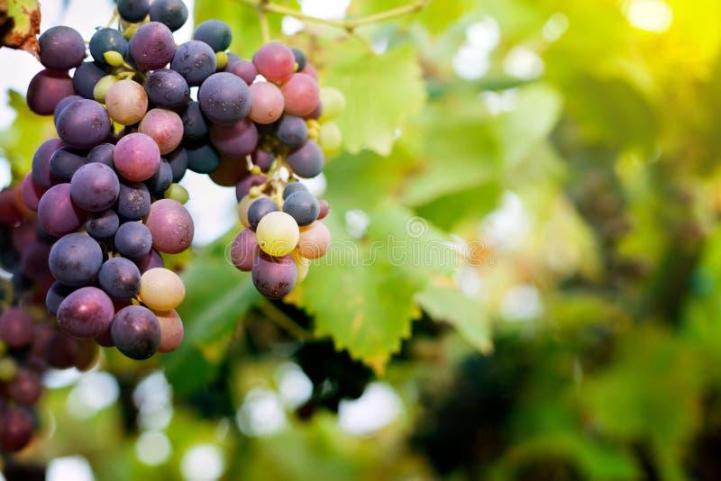 Słodcy owocowi winogrona fotografia stock