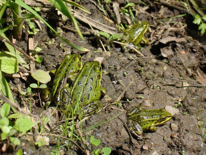 słodka żaby green obrazy stock