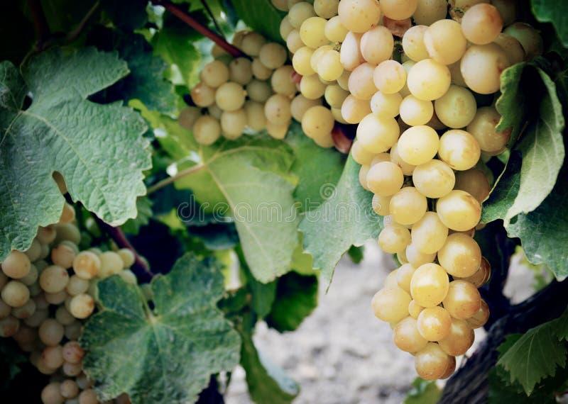 Słodka i smakowita białego winogrona wiązka fotografia stock
