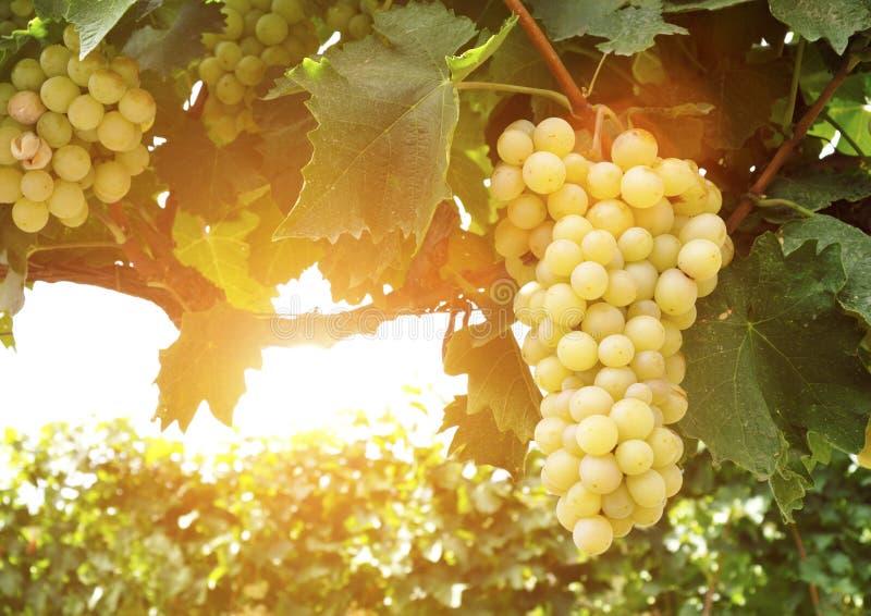 Słodka i smakowita białego winogrona wiązka obrazy royalty free