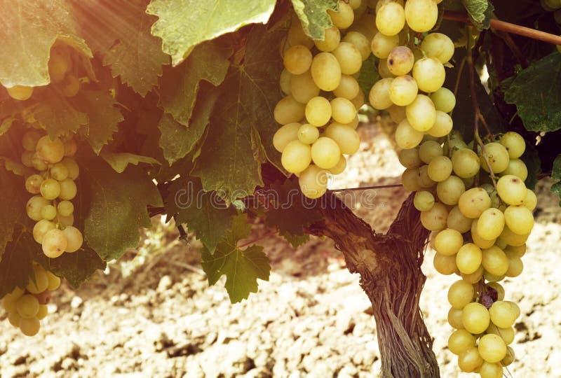 Słodka i smakowita białego winogrona wiązka zdjęcia stock