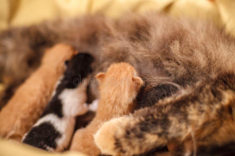 Słodka kot rodzina - właśnie nowonarodzone figlarki z macierzystym kotem Rewolucjonistka, czarny i biały figlarki zdjęcia royalty free