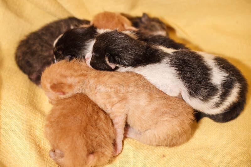 Słodka kot rodzina - właśnie nowonarodzone figlarki z macierzystym kotem Rewolucjonistka, czarny i biały figlarki obraz stock