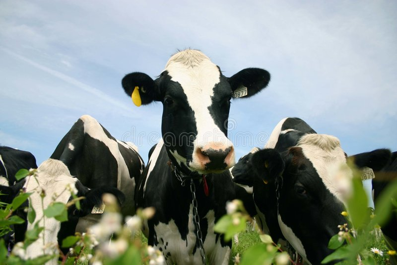 słodka krowa. obraz stock